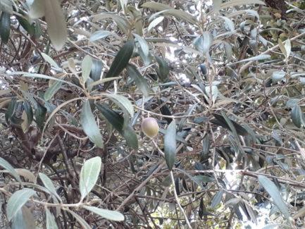 Come un'oliva abbandonata